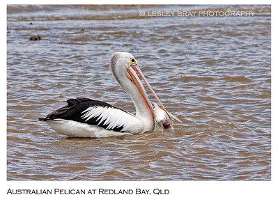 Australian Pelican with Fish