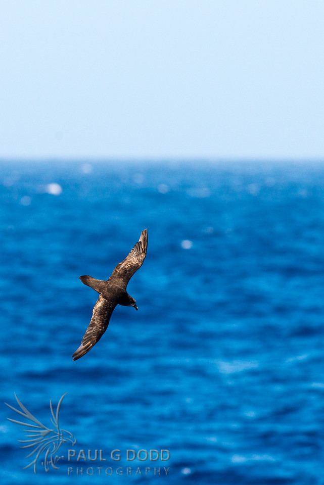 Great-winged (Grey-faced) Petrel