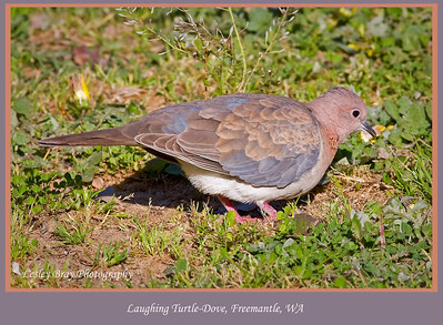 Laughing Turtle-dove
