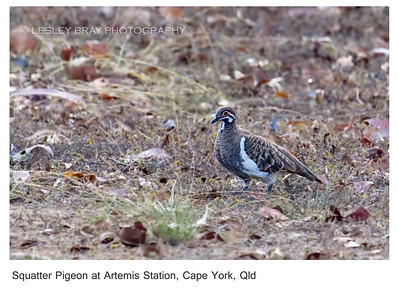 Squatter Pigeon - Northern Form