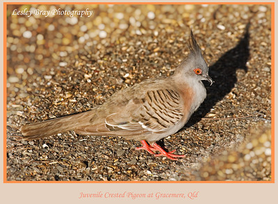 Juvenile Crested Pigeon
