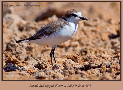Female Red-capped Plover