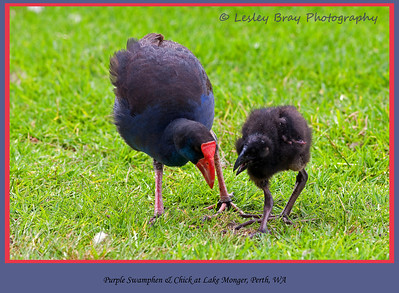 Purple Swamphen with Chick