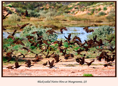 Black-tailed Native-hens in Flight