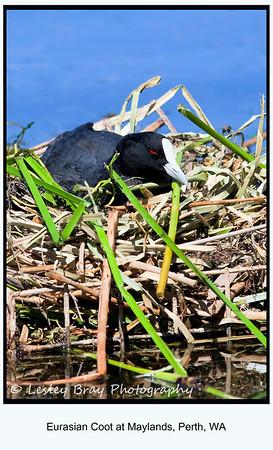 Eurasian Coot Nesting