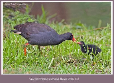 Dusky Moorhen with Chick