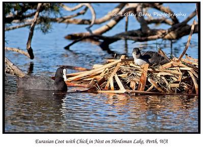 Eurasian Coot Chick on Nest