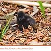 Buff-banded Rail Chick