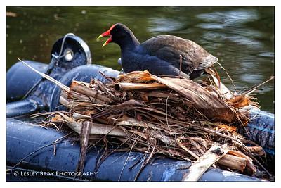 Dusky Moorhen on Nest