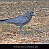 Torresian Crow, <i>Corvus orru</i>, seen at Hilliard's Environmental Park on Hilliards Creek, Ormiston, Queensland, Australia <br><br> Photographed October 2009 - © 2009 Lesley Bray Photography - All Rights Reserved. <br><br> Do not remove my signature from this image. Sharing only with credit please.
