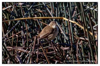 Australian Reed-Warbler