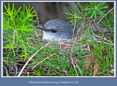 Nesting White-breasted Robin
