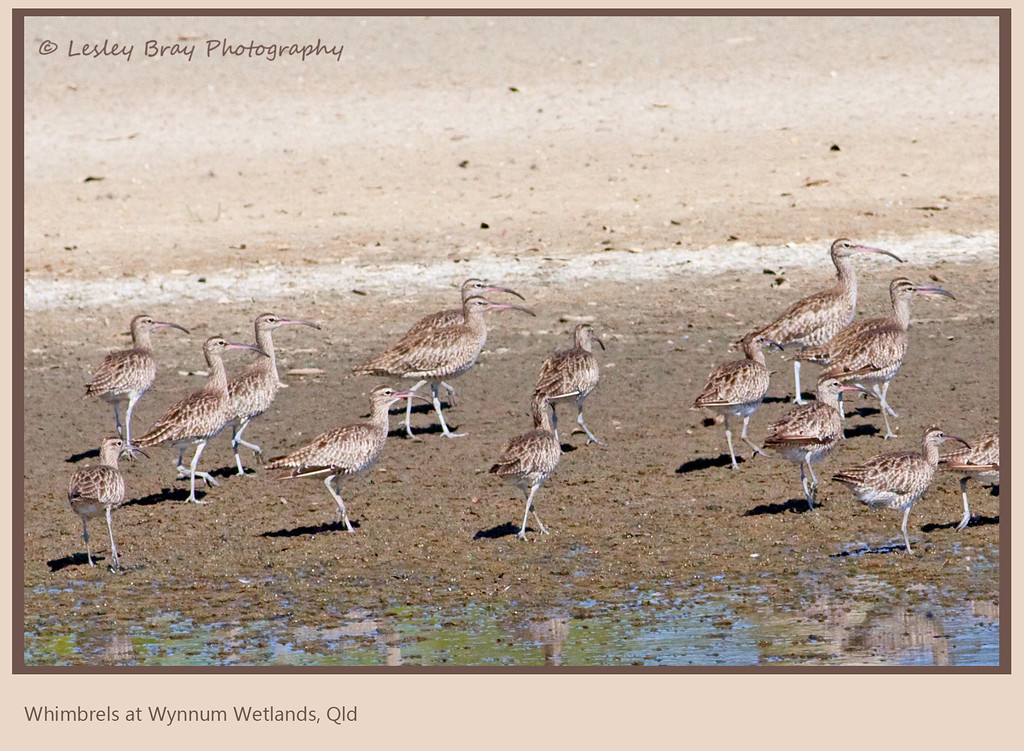 Whimbrels From a Distance