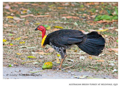 Australian Brush-turkey