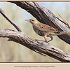 Brown Songlark (Cincloramphus cruralis) seen perching on the branch of a Gidgee tree on the QAA Line, a remote track in the Simpson Desert National Park, outback Queensland, Australia. <br><br> Photographed August 2010 - © 2010 Lesley Bray - All Rights Reserved.