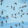 Black-winged Stilt, Banded Stilt, Red-necked Avocet