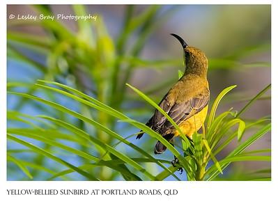 Female Yellow-bellied Sunbird