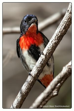 Male Mistletoebird