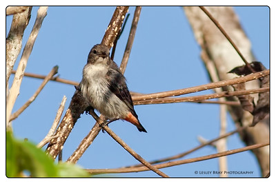 Female Mistletoebird