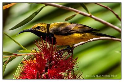 Male Yellow-bellied Sunbird