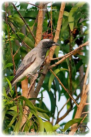 Cuckoo-shrikes & Trillers