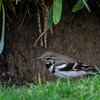Forest Wagtail