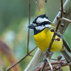 Crested Shrike-tit