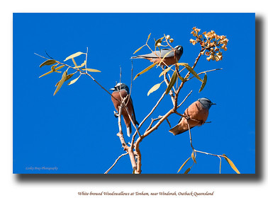 White-Browed Woodswallows