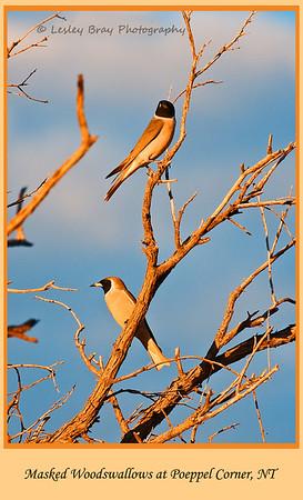 Masked Woodswallows