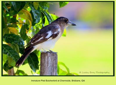 Juvenile Pied Butcherbird