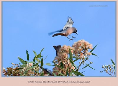 White-browed Woodswallow in Flight