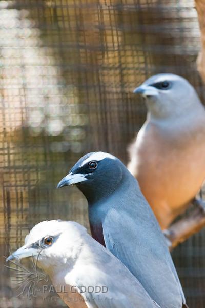 White-browed Woodswallow (captive)