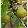 Mangrove Fruit