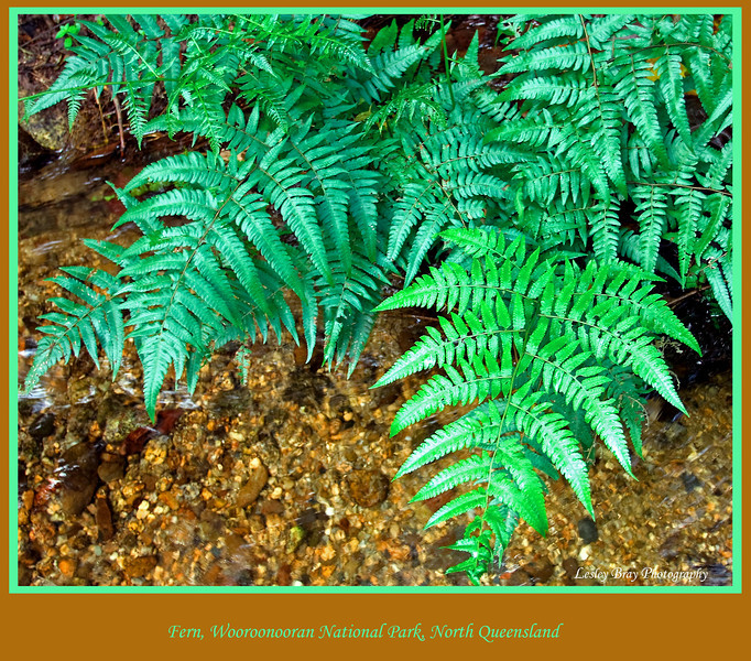 Ferns growing in a beautiful spot in the Wooroonooran National Park by the Mulgrave River, in the Goldsborough Valley, North Queensland, Australia. <br /> <br /> Photographed July 2010 - © Lesley Bray Photography
