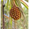 Palm Fruit