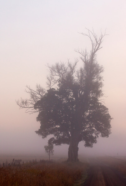 Ripley Tree in Fog