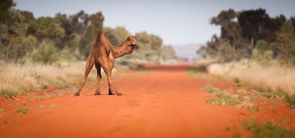 Camel track. Central Australia