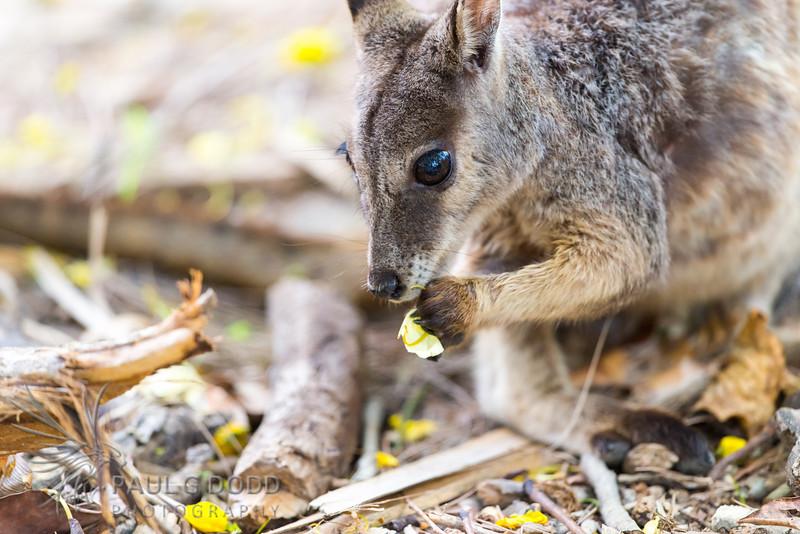 Unadorned Rock-wallaby (Mareeba race)