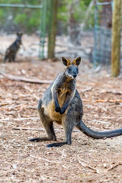 Swamp (Black) Wallaby (captive)