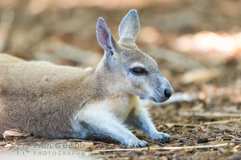 Northern Nail-tail Wallaby (captive)