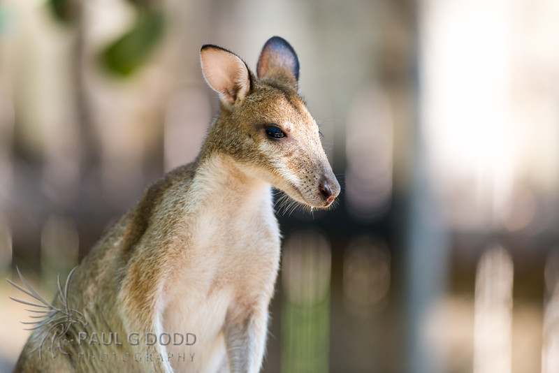 Agile Wallaby (captive)