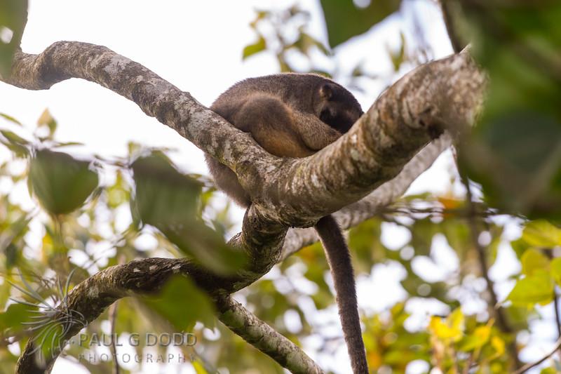Lumholtz's Tree-kangaroo