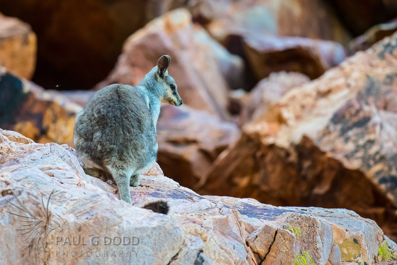 Black-footed (Black-flanked) Rock-wallaby