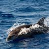 (Oceanic) Bottlenose Dolphin