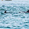 Burrunan (Port Phillip) Dolphin