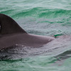 Common Bottlenose Dolphin