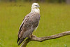 White-Bellied Sea-Eagle, Haliaeetus leucogaster