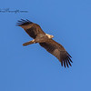 Whistllig Kite, Haliastur sphenurus