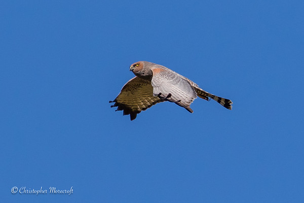 Spotted Harrier, Circus assimilis