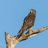 Brown Falcon, Falco berigona